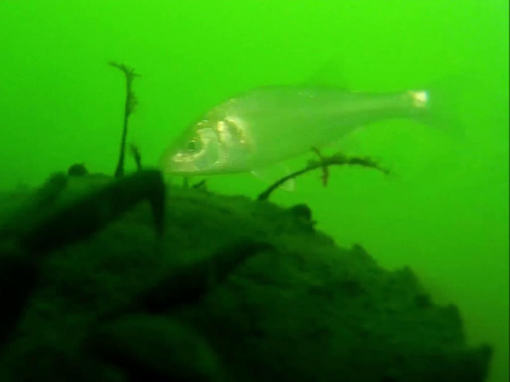 Dicentrarchus labrax, bass